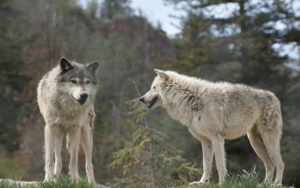 Le Parc à Loups du Gévaudan sur Télématin